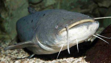 ương cá trê