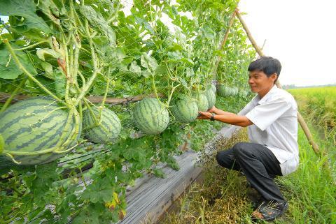 trồng dưa hấu