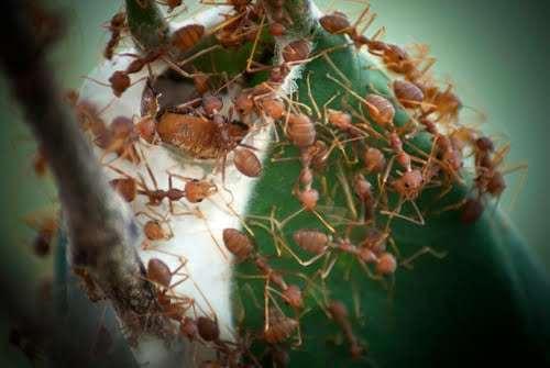 nuôi kiến vàng