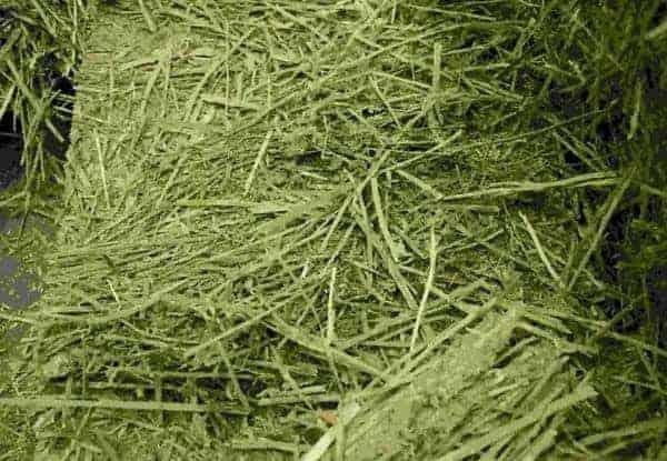 cỏ alfalfa