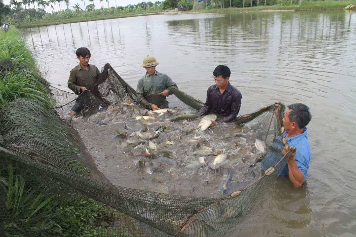 nuôi cá trắm cỏ