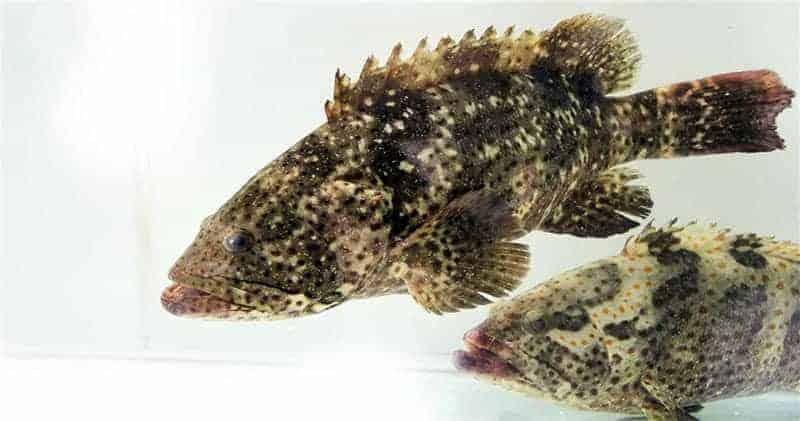 bệnh thông thường ở cá mú