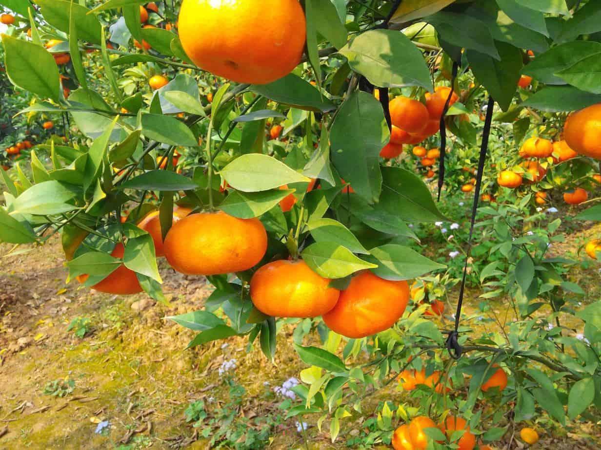 trồng cam mùa nghịch