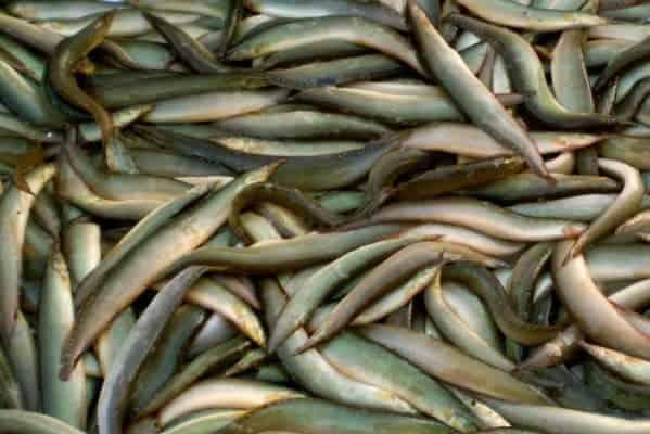 nuôi cá chạch đồng