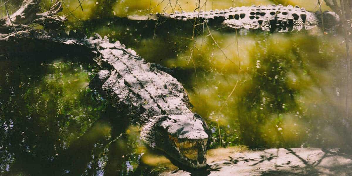 trị bệnh nuôi cá sấu