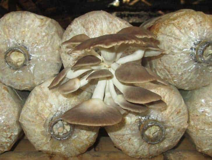 trồng nấm bào ngư Nhật