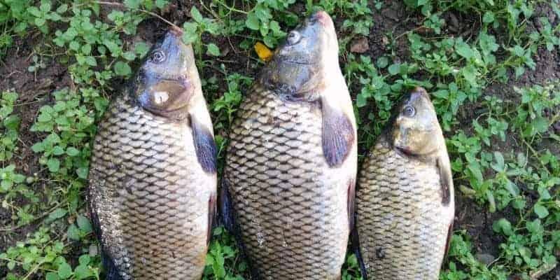 cá thát lát còm