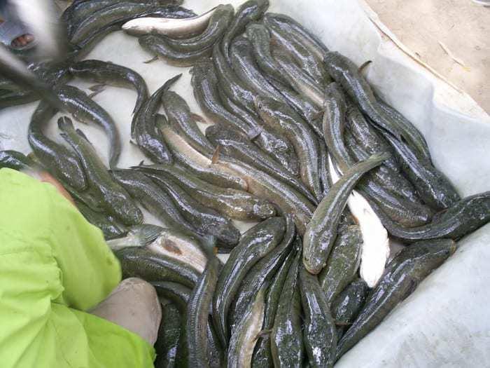 phòng bệnh cho cá lóc