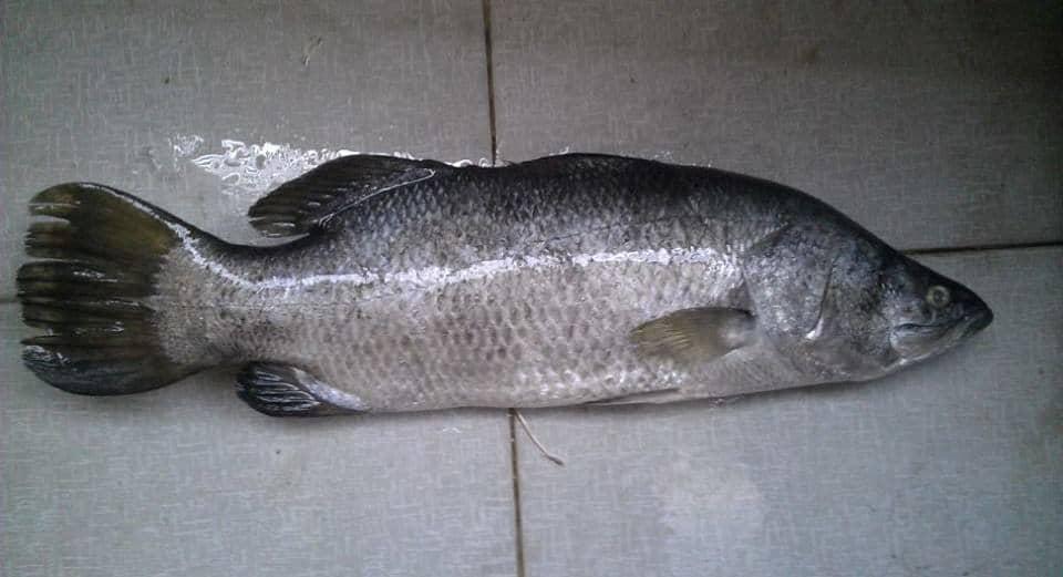 cá vược trắng