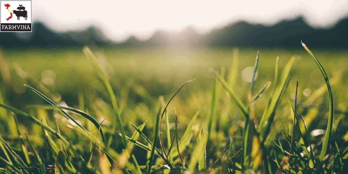 ủ chua cỏ xanh