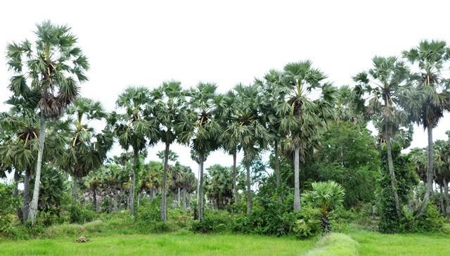 ủ chua lá cọ dừa