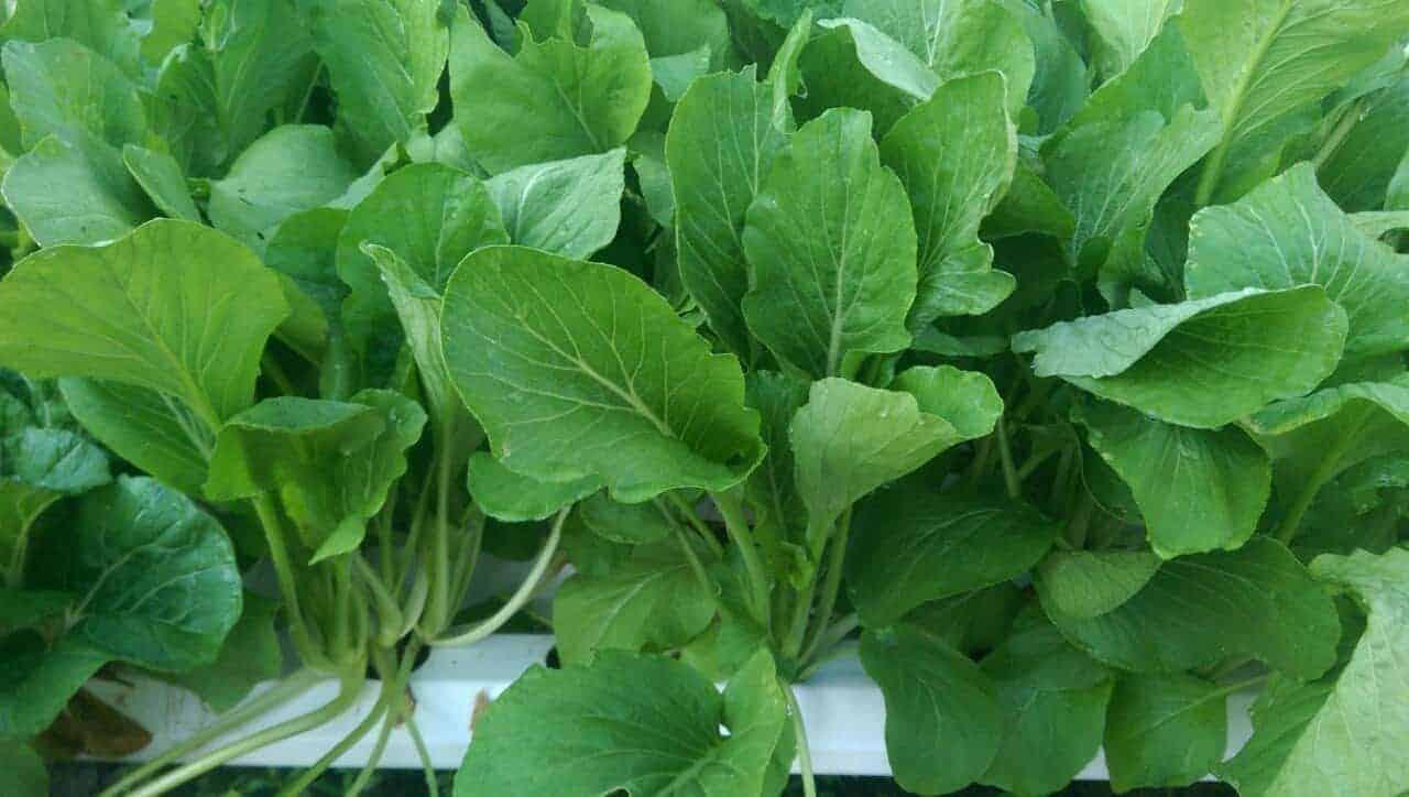 trồng cải ngọt