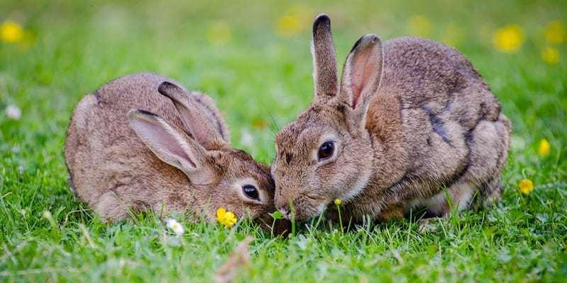 lựa thỏ