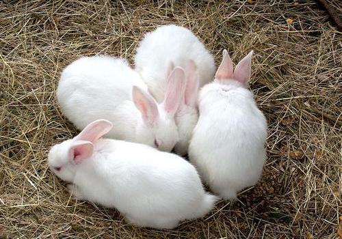 giống thỏ tốt