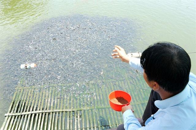 cách nuôi cá vuông