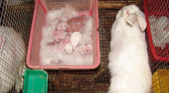 thỏ sinh sản