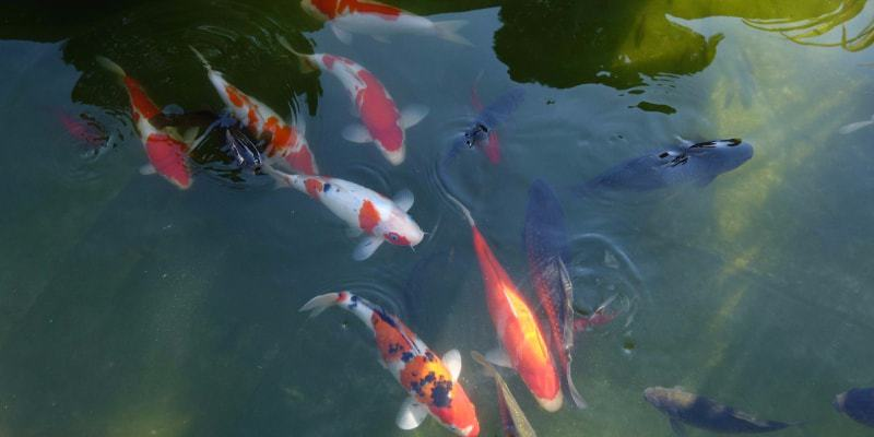cá chép Nhật
