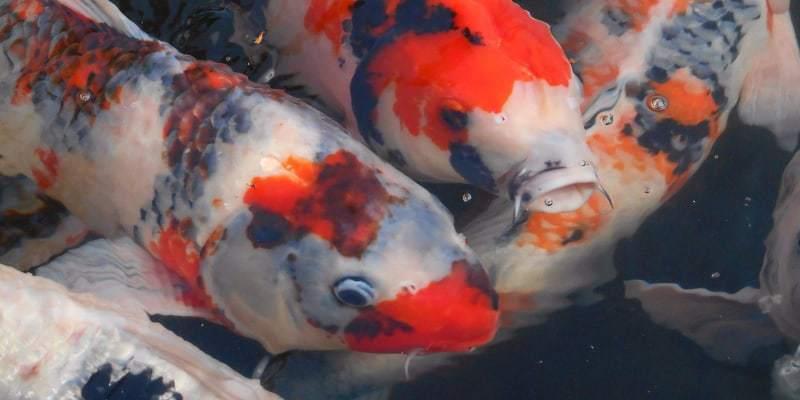bệnh cá chép Nhật