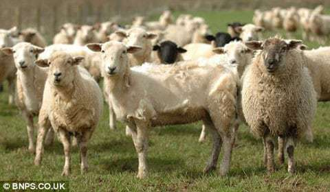cừu Phan Rang