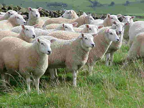 nuôi cừu làm giàu