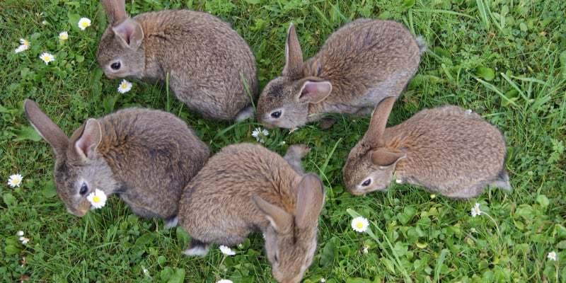 nuôi thỏ đang nuôi con
