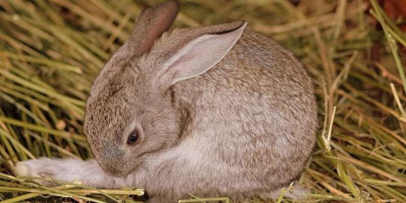 thỏ mẹ đang chửa
