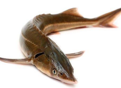 giới thiệu chung về cá tầm