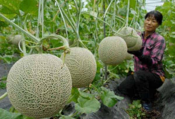 trồng dưa lưới