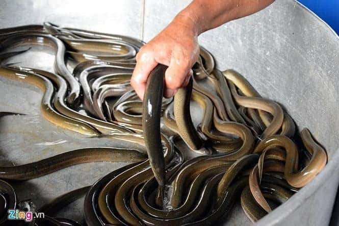 nghề nuôi lươn