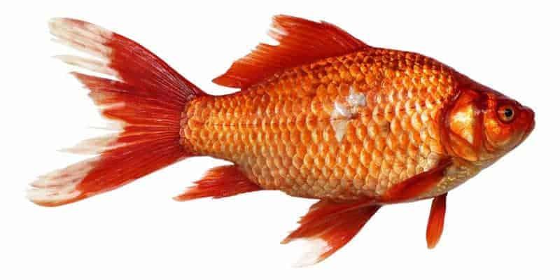 cá chép V1