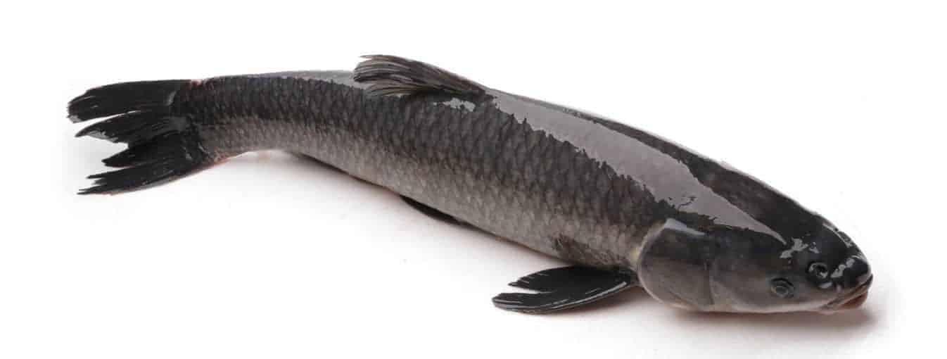 nuôi ghép cá trắm đen