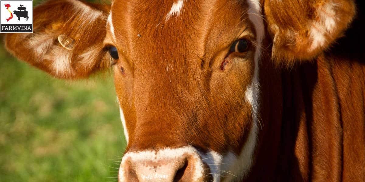 nuôi bò