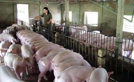 nuôi lợn