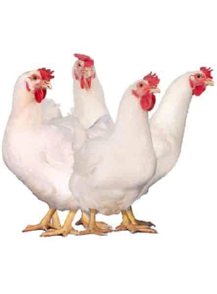 gà siêu thịt