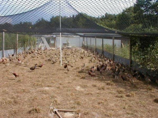 chuồng nuôi chim trĩ