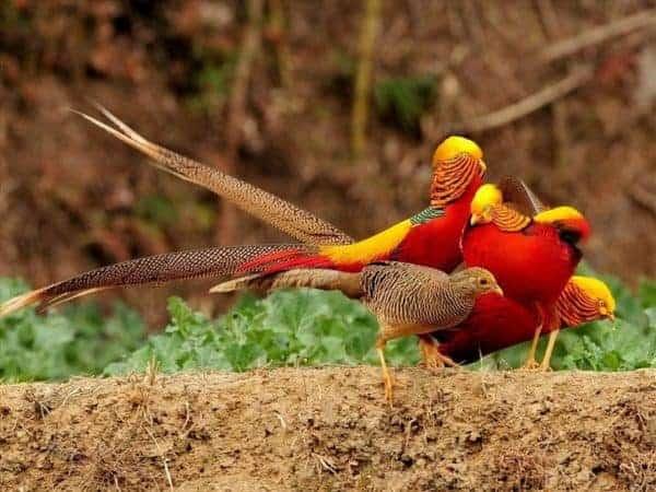 chim trĩ