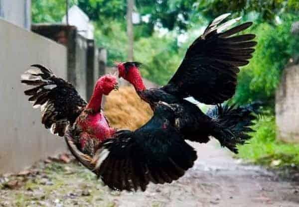 giống gà