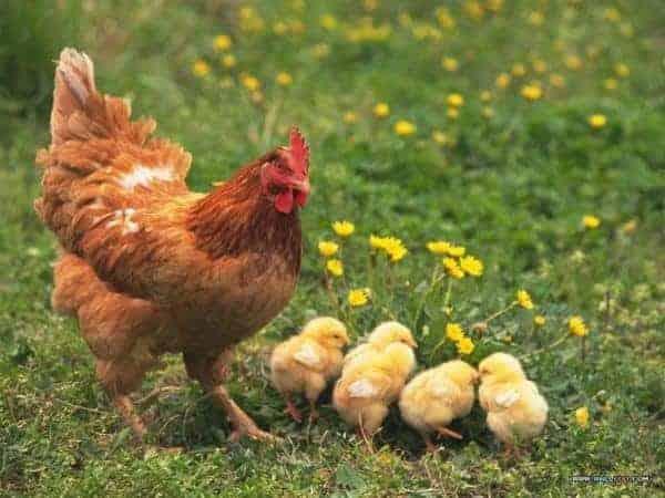 nuôi gà con