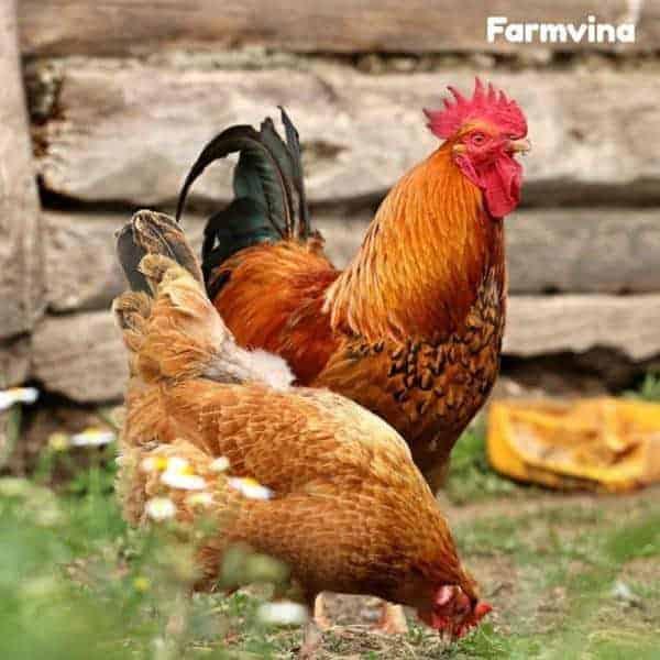 chi phí nuôi gà thả vườn