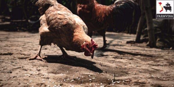 nuôi gà sinh sản