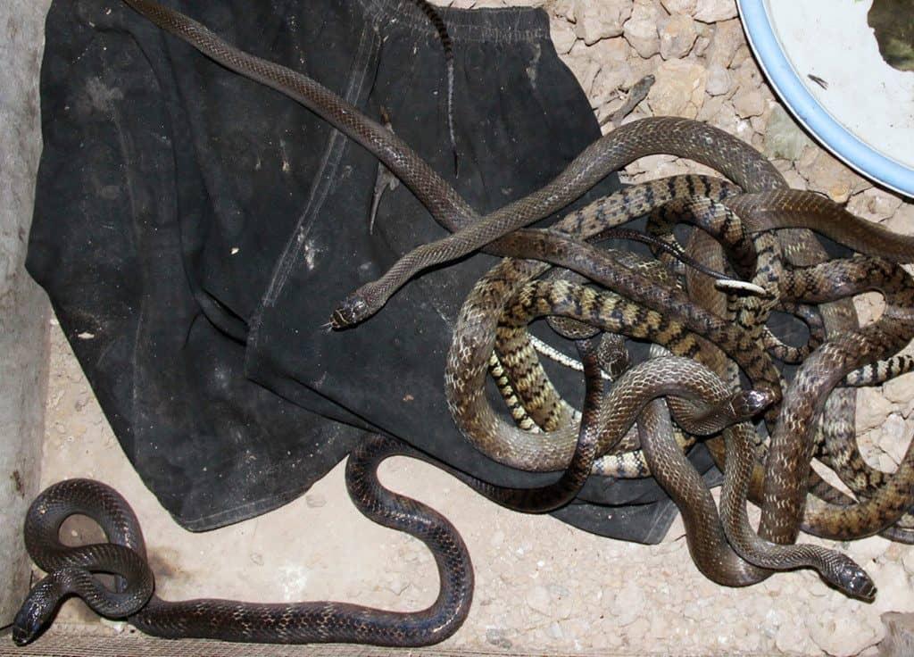 nuôi rắn ráo trâu
