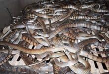 rắn ráo trâu