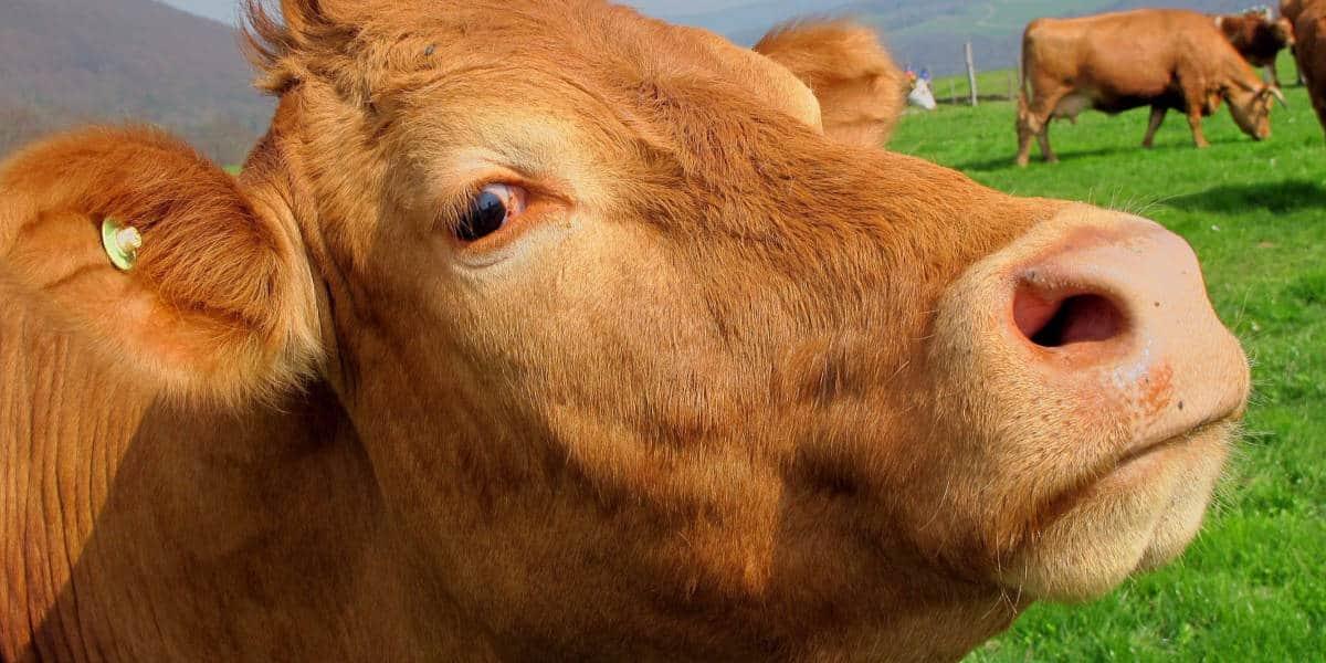 nuôi bò nhốt chuồng