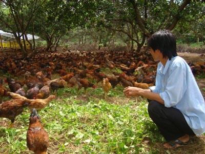nuôi gà thả vườn