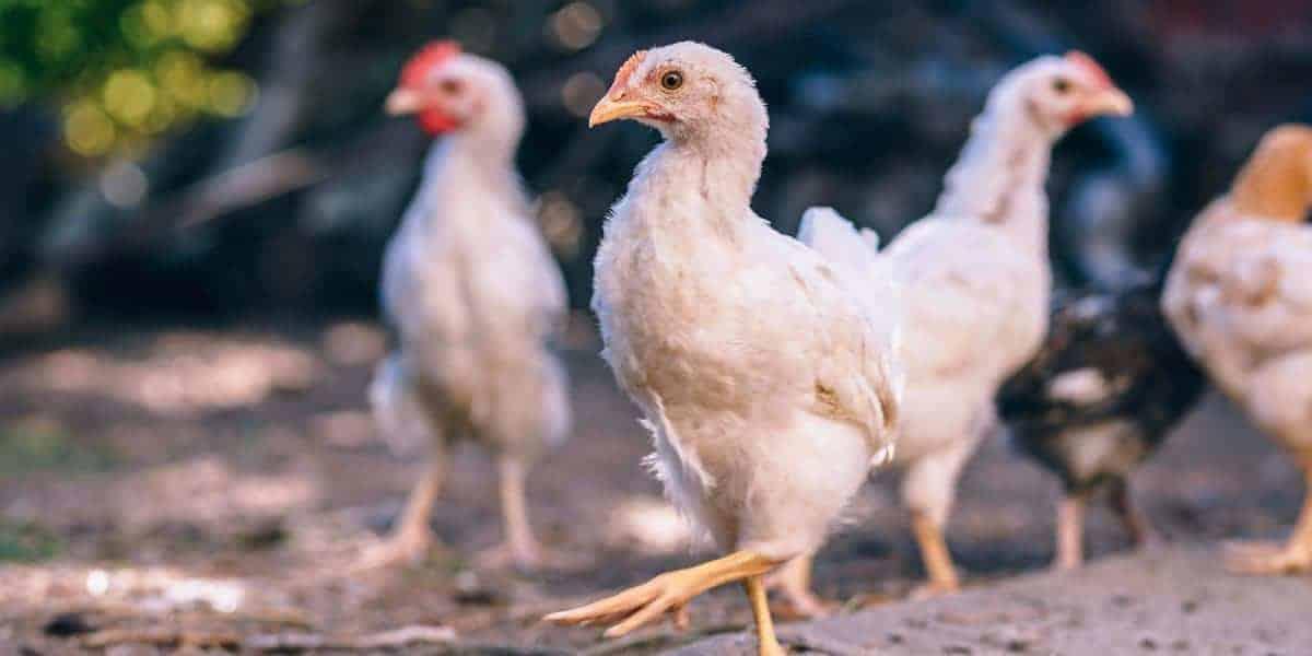 tỷ phú nuôi gà