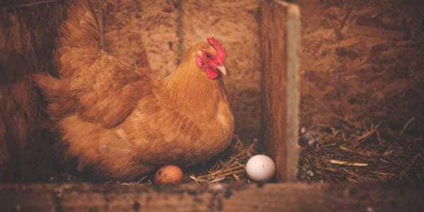 ấp trứng