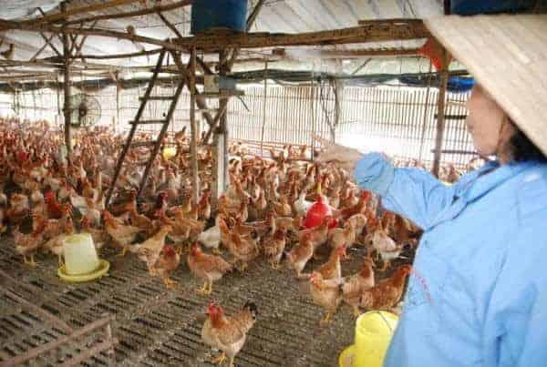 nuôi gà bằng thảo dược