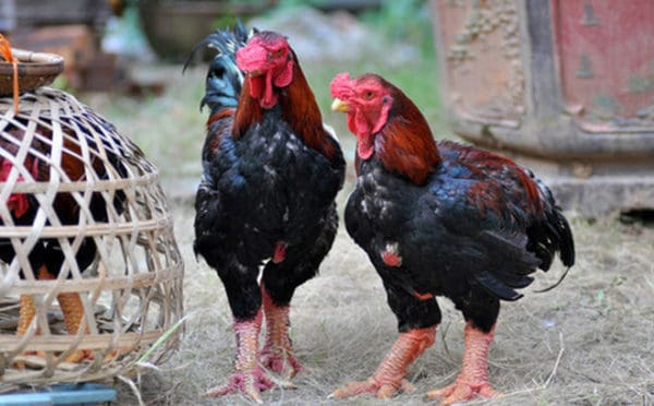 thụ tinh nhân tạo cho gà Đông Tảo