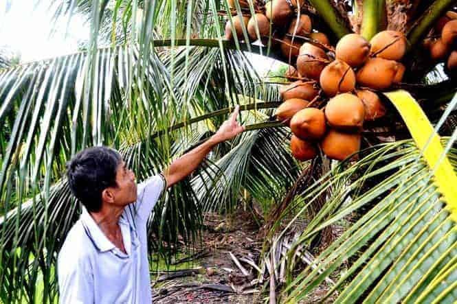 dừa Mã Lai
