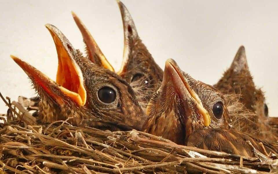 nuôi chim yến trong nhà